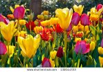 stock-photo-colorful-tulips-in-the-park-spring-landscape-132044723